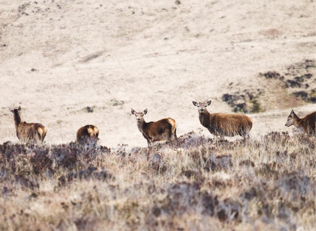 Deer on the Isle of Mull